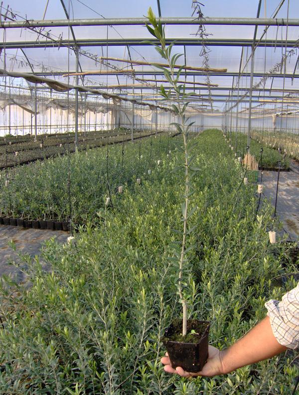 Viveros bernedo viveros de olivo plantones de olivo for Viveros de olivos