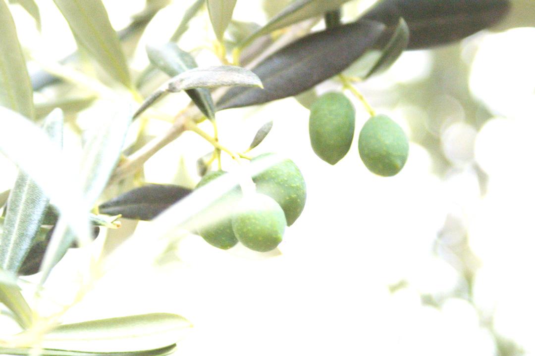 Viveros bernedo viveros de olivo plantones de olivo vivero for Viveros en cordoba